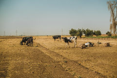 Wandering cows in Iraq Stock Photography
