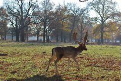 Wandering Deer. Taken on a crisp winter morning - this is a picture of a lone deer in Bushy Park, London Royalty Free Stock Images