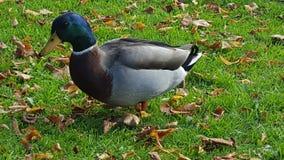 Wandering duck Стоковые Изображения