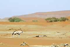 Wandering dune of Sossuvlei in Namibia Royalty Free Stock Image