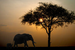 Wandering elephants against the setting sun in Kenya. Masai mara Royalty Free Stock Images