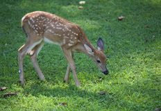 Wandering fawn Royalty Free Stock Images