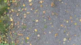 Wandering on forest gravel road with fallen birch tree leaves in autumn stock video footage