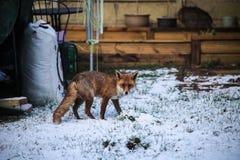 Wandering Fox. Fox wandering around garden in wet winter that is typical for Britain Stock Photo