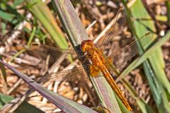 Wandering Glider Dragonfly on Grass. Wandering Glider Dragonfly with Translucent Wings Sitting on Grass Stock Photos