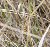 Wandering Glider Dragonfly Pantala flavescens Perched on Dried Grass. In Eastern Colorado royalty free stock images