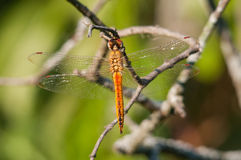 Wandering Glider. Hanging from a branch Stock Images