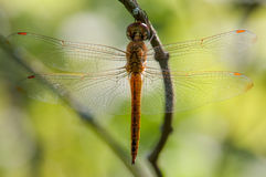 Wandering Glider. Hanging from a branch royalty free stock photography