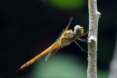 Wandering Glider (Pantala flavescens). Close up of Wandering Glider (Pantala flavescens) stopped on a perch Royalty Free Stock Image