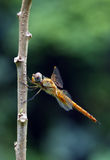 Wandering Glider (Pantala flavescens) Stock Photo