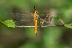 Wandering Glider - Pantala flavescens. Female Wandring Glider Dragonfly perched on a branch. Also known as a lobe Skimmer and Globe Wanderer. Colonel Samuel royalty free stock image