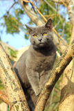 Wandering gray cat sitting on tree Stock Images
