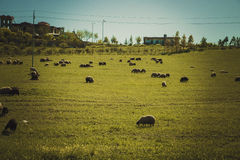 Wandering herd of sheep in Iraqi Landscape in Spring Royalty Free Stock Photo