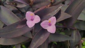 Wandering jew blossoms closeup Stock Photos