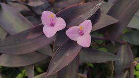 Wandering jew closeup Royalty Free Stock Image