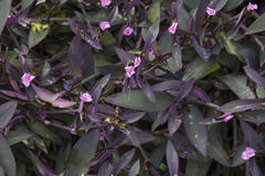 Wandering jew ground cover. Leaves Stock Photo