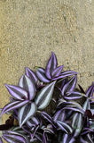 Wandering Jew. Growing under big tree Royalty Free Stock Photo