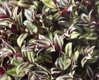 Wandering jew plant Stock Image