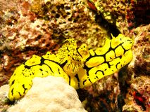 Wandering Nudi Royalty Free Stock Photo