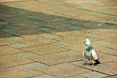 Wandering Pigeon Royalty Free Stock Photography