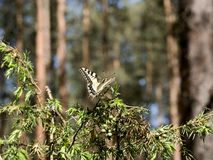 Beautiful butterfly of the swallowtail-queen Papilio machaon on twigs of juniper in pine bores. Wandering queen in the spring scenery on a forest d ee the Royalty Free Stock Photo
