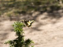 Beautiful butterfly of the swallowtail-queen Papilio machaon on twigs of juniper in pine bores. Wandering queen in the spring scenery on a forest d ee the Royalty Free Stock Images