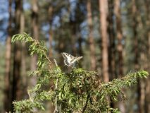 Beautiful butterfly of the swallowtail-queen Papilio machaon on twigs of juniper in pine bores. Wandering queen in the spring scenery on a forest d ee the Stock Photos