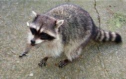 Wandering racoon stock image