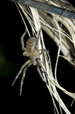 Wandering spide. R, Amazon rain forest, Ecuador Royalty Free Stock Photography