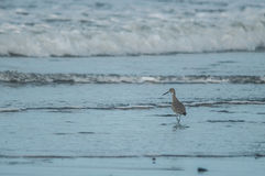 Wandering Tattler. At the coast Stock Images