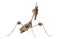Wandering Violin Mantis, Gongylus gongylodes Stock Photography
