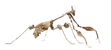 Wandering Violin Mantis, Gongylus gongylodes Royalty Free Stock Photo