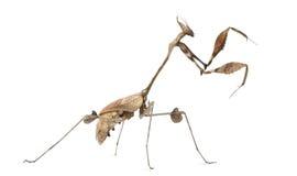 Wandering Violin Mantis, Gongylus gongylodes Royalty Free Stock Image