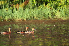 Wandering whistling duck. Dendrocygna arcuata in Australia Stock Photo