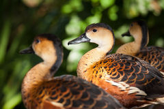 Wandering Whistling ducks. Close-up of three Wandering Whistling ducks ( Dendrocygna arcuata Royalty Free Stock Photography