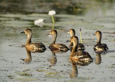 Wandering Whistling Ducks, Australia. Wandering Whistling Ducks, Yellow River, Kakadu National Park, Northern Territories, Australia Stock Image