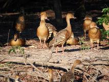 Wandering whistling ducks, Dendrocygna arcuata. Group of Wandering whistling ducks (Dendrocygna arcuata) on land Royalty Free Stock Photo