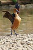 Wandernde pfeifende Ente lizenzfreie stockfotografie