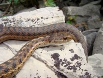 Wandernde Strumpfband-Schlange, Thamnophis vagrans Stockbild