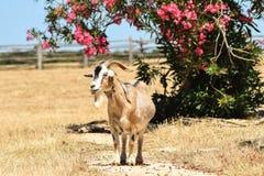 Wandernde Ziege auf schönen kroatischen Inseln Lizenzfreie Stockfotos