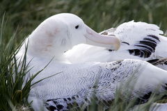 Wandernder Albatros auf Nest Lizenzfreies Stockbild