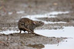 Wanderratte, Rattus norvegicus Lizenzfreies Stockbild