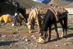 Wanderung-Ponys Stockbild