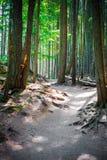 Wanderweg durch das Holz von hohen Kiefern lizenzfreie stockbilder