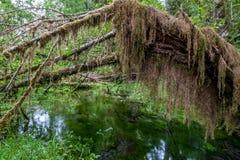 Wanderweg mit Bäumen und Teich von Hoh Rain Forest Stockbilder