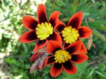 Wandflower foto de stock royalty free
