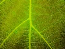 Wandhintergrund der Blattbeschaffenheit grüne Farb stockbild