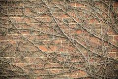 Wandhintergrund des roten Backsteins und trockene Efeuanlagen Stockfoto