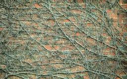 Wandhintergrund des roten Backsteins und trockene Efeuanlagen Lizenzfreies Stockfoto