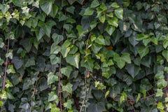 Wandhintergrund voll vom Efeu, grüner Rebstock lizenzfreie stockfotografie